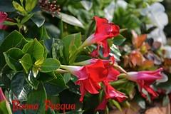 Buona  Pasqua  a  tutti (Giuliana 57) Tags: fiori pasqua buonapasqua giulianacastellengo giuliana57 reflex nikond5200 rosso giardino aiuola casa fiore macro pianta