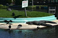 """Trespassers Will Be Eaten!""  They're not kidding. (River Wanderer) Tags: alligator blackvulture vulture gatorland orlando florida nikon nikond7200"