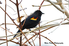 IMG_4132 (nitinpatel2) Tags: bird nature nitinpatel