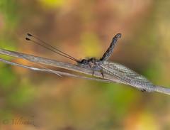 Ululodes quadripunctatus (veltrahez) Tags: miami florida unitedstates us ngc macro life nature olympus zuiko