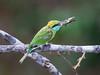 Sri Lanka '17_0164 (Jimmy Vangenechten 76) Tags: geo:lat=843655119 geo:lon=8000767700 geotagged greenbeeeater srilanka ceylon asia azië indianocean indische oceaanwildlifeanimalbirddiervogelwilpattu national parkgreen beeeatermerops orientaliskleine groene bijeneter