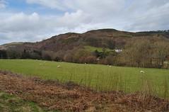 Glyndyfrdwy 030418 - DSC_0217 (Leslie Platt) Tags: straightened denbighshire glyndyfrdwy deevalley sheep lamb layeredhedge