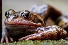 Good Morning (Evoljo) Tags: frog hop amphibian eyes skin garden macro grass nikon d500