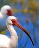 White Ibis (Stan in FL) Tags: whiteibis unitedstates florida leesburg venetionparkdrive