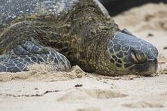 Green Turtle (fantommst) Tags: lisaridings fantommst hawaiioahu usa us hi beach turtle wooleybully lopekaoholokai rogertheseafarer male chelonia mydas green greenturtle seaturtle herbivore pacific ocean sand sleep sleeping resting laniakea hawaii