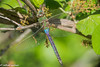 common green darner (robert salinas) Tags: austin texas unitedstates
