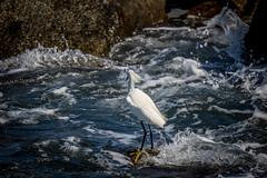 ocean motion & the egret (robertskirk1) Tags: nature outdoor wildlife animal bird snowy egret ocean fishing jetty park port canaveral florida fl beach pier