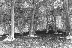 EndcliffePark woods (kieronlong23) Tags: sheffield photography photodrawing abstractphotography abstractart abstractphotographyart endcliffeparkwoods ecclesallroad huntersbar blackandwhite