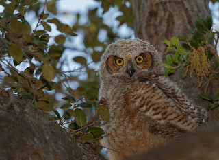 Great-Horned Owl chick  (Bubo virginianus)