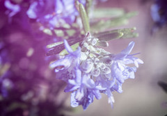 Rosemary (judy dean) Tags: garden judydean freelensing velvet56 flowers lensbaby rosemary herb scent aromatic