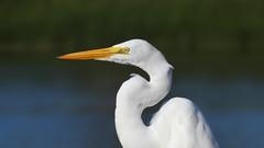 GARÇA - Great Egret (sileneandrade10) Tags: sileneandrade ardeaalba reategret garça garçabranca pássaro ardeidae pelecaniformes garçabrancagrande ave animal nature natureza nikon nikoncoolpixp900