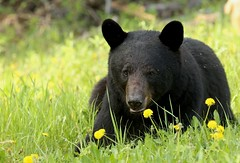 Momma bear taking the lazy approach to eating dandelions (Guy Lichter Photography - 4M views Thank you) Tags: bear female bearblackbear mammals mammal animals animal wildlife rmnp manitoba canada 5d3 canon canon5d3