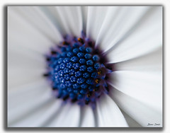 Blue & White Daisy Macro (Bear Dale) Tags: blue white daisy macro ulladulla south coast new wales australia flower flowers dale nikon d850 nikkor 105mm petals lake conjola nature fotoworx beardale lakeconjola shoalhaven southcoast framed fleurs flores photo photograph groups group flickr