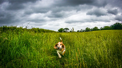 Boo Basset enjoying Country Life (mejud) Tags: basset hound dog grass pet field animal love running outdoor bassethound threemiletown sky boo