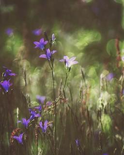 ~ bellflowers ~  Riddarhyttan Sweden June