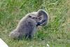Veren kleed verzorgen (Olga and Peter) Tags: zwaan jong swan chick fp1180867