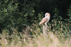 Barn Owl - Woods Mill (55) (Malcolm Bull) Tags: include woods mill 20180620woodsmill0055edited1web barn owl wild