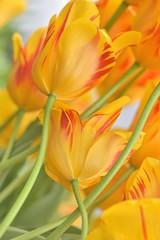 (YazzyH) Tags: tulip tulips yellow yellowflowers yellowtulips swept lean leaning stalk petal petals flower flowers nature bokeh soft delicate flora plant closeup spring springtime keukenhof keukenhof2017 nikond750 nikon105mmmicro nikkor105mmf28gvrmicro flowerscolors colour color bright macromademoiselle tangled