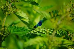 Banded demoiselle (Calopteryx splendens), male (Dave_A_2007) Tags: calopteryxsplendens bandeddemoiselle damselfly insect nature wildlife stratforduponavon warwickshire england