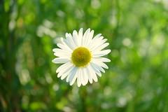 Grab yourself a sunshiny day :-)) (John (Thank you for >2 million views)) Tags: 7dwf flower flora bokeh stapleton glenside sunshine daisy macromademoiselle