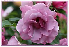 Blueberry Hill (MEA Images) Tags: roses rosegarden gardens blooms flora nature parks pointdefiancepark tacoma washington canon picmonkey