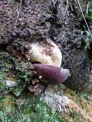 Boletus aestivalis (giansacca) Tags: mushrooms mushroom ciuperci champignons funghi fungus fungo fungi farfalla pilz seta hongo boletusaestivalis boletusreticulatus cep porcino bolet
