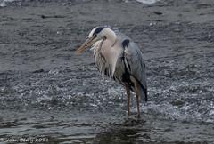 Camera Club Night - Chester (joanjbberry) Tags: clubnight moorecameraclub chester fujifilmxt2 xt2 heron wildlife birds river
