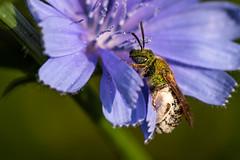 Striped-sweat Bee on Chicory (Wildphotography - Barry Rowan) Tags: animal charlotte clarkscreeknaturepreserve flowersplants insect mecklenburgcounty nature northcarolina summer wildlife bee metallicsweatbee
