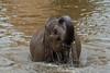 Elephant 18-06-18 (2) (R.J.Boyd) Tags: chester zoo wildlife north northwest england animal park mammals elephant asia big
