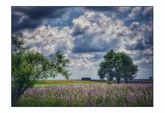 En attendant les lavandes ... (Charlottess) Tags: nikon5300 juin sauge nuage champ valensole alpesdehauteprovence groupenuagesetciel