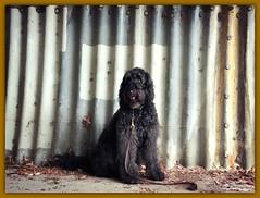 Urban Chic (Bennilover) Tags: tunnel dog dogs urban chic labradoodle benni frame edgy funny bennigirl