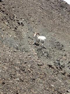 Alaska Dall Sheep Hunt & Moose Hunt 42