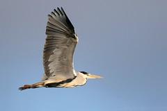 Grey Heron in flight 110309 (wildlifetog) Tags: grey heron isleofwight inflight blackmore britishisles britain bird birds british brading mbiow martin marsh uk wild wildlife wings nature canon england european eos7dmkii