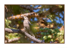 Pensive amongst the Fir (JohnKuriyan) Tags: utah clarks nutcracker bryce canyon national park
