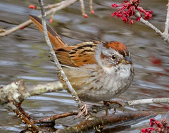 Swamp Sparrow (tresed47) Tags: 2018 201803mar 20180327bombayhookbirds birds bombayhook canon7d content delaware folder march peterscamera petersphotos places season sparrow swampsparrow takenby us winter