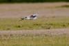 Pallid Harrier male flight_w_2460 (Daly Wildlife) Tags: paralimni ammochostos cyprus cy circusmacrourus pallidharrier migration birdsofprey raptor quartering hunting maleharrier mediterraneansea middleeast wintersafrica greywhitebird circling