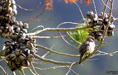 African Dusky Flycatcher (Muscicapa adusta) (Mahmoud R Maheri) Tags: bird africanduskyflycatcher muscicapaadusta finbos southafrica capetown tablemountain botanicgarden tree perch