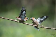 Rififi chez lez Grosbecs (mirage 31) Tags: ariège coccothraustescoccothraustes ddo fringillidés grosbeccassenoyaux hawfinch mazères passériformes bird groupe oiseau