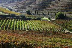 As cores do outono! (puri_) Tags: socalcos vinhedos outono verde vermelho douro