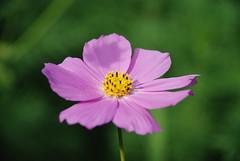 Asteraceae (Parkhhomenko) Tags: flower macro bright asteraceae