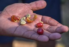 Panama coffee (powerfocusfotografie) Tags: coffee boquete outdoors chiriqui panama agriculture crop harvest henk nikond7200 powerfocusfotogafie
