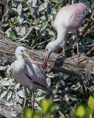 Pair of Juvenile Roseate Spoonbill (dbadair) Tags: outdoor seaside shore sea sky water nature wildlife 7dm2 ocean canon florida bird desoto
