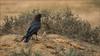 Wüstenrabe (Brown-necked raven) (tzim76) Tags: wüstenrabe corvus ruficollis brownnecked raven wildlife nature outdoor israel negev desert brown dry hot birding canon