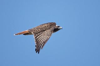 Hawk in Flight #110