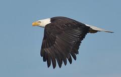 Up, up and away (Snixy_85) Tags: eagle baldeagle frenchcreekmarina haliaeetusleucocephalus