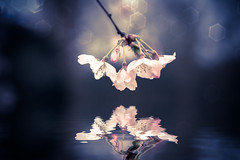 Sakura Love New by Simon Hadleigh-Sparks (Simon Hadleigh-Sparks) Tags: spring flower water reflection pink blossom bokeh nature contrast gardens simonandhiscamera