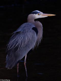 Great Blue Heron at Twilight