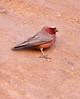 Sinai Rosefinch (Wild Chroma) Tags: carpodacus synoicus carpodacussynoicus rosefinch sinai wadi rum wadirum desert passerines birds jordan