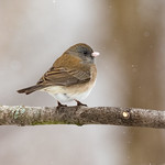 Junco, Dark-eyed thumbnail