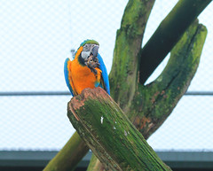 234. Blue and Gold Macaw (1000 Wildlife Photo Challenge) Tags: parrot macaw colourfulbird
